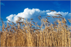 Galleritryck  Barley field under blue sky