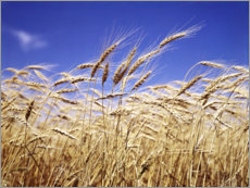 Premiumposter  Barley heads in front of blue sky