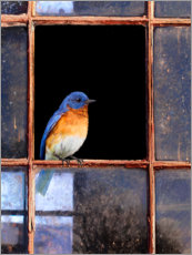 Canvastavla  Bluebird at the window - Chris Vest