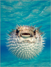 Akrylglastavla  Inflated puffer fish