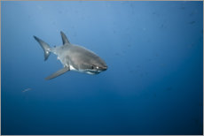 Premiumposter Great white shark I