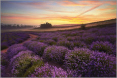 Premiumposter  Lavender field in the morning - Rafal Kaniszewski