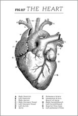 Premiumposter  The Heart - Wunderkammer Collection