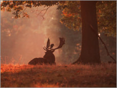 Premiumposter A Fallow deer stag rests in an autumn forest.