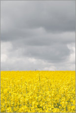 Aluminiumtavla  Yellow rape field under gray clouds - Studio Nahili