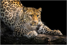 Canvastavla  Leopard in wait - Friedhelm Peters