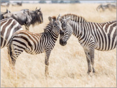 Akrylglastavla  Adults and young zebras - Jaynes Gallery