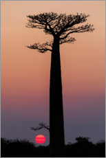 Premiumposter Baobab trees in the morning sky