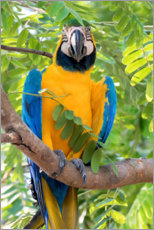 Premiumposter Yellow-breasted Macaw on a branch