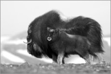Premiumposter Musk ox with calf