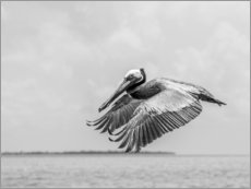 Poster Pelican is flying over the Caribbean Sea