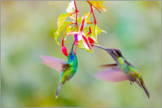 Premiumposter  Two hummingbirds on a flower - Jaynes Gallery
