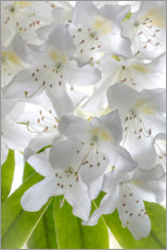 Premiumposter White rhododendron flowers