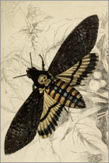 Akrylglastavla  Death's-head hawkmoth - Wunderkammer Collection