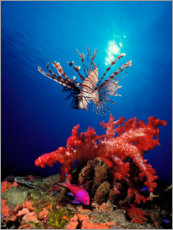 Galleritryck  Lionfish and soft coral