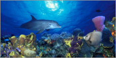 Premiumposter  Bottlenose dolphin at the coral reef