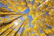 Poster  Autumn-colored aspen forests of Colorado - Sven Müller