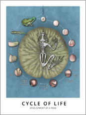 Canvastavla  Cycle of life - Development of a frog - Wunderkammer Collection