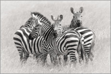 Akrylglastavla  Group of zebras - Kirill Trubitsyn
