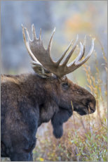Canvastavla  Majestic moose in profile - Elizabeth Boehm