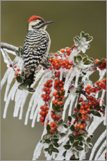Premiumposter Woodpecker on icy branch