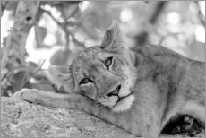 Canvastavla  Lioness resting on branch - Emily M. Wilson