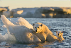 Premiumposter  Polar bear cub with mother swimming - Paul Souders