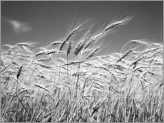 Premiumposter  Wheat in the summer