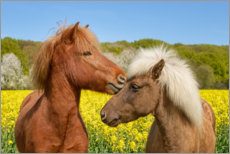 Premiumposter Icelandic horses cuddle in a spring meadow