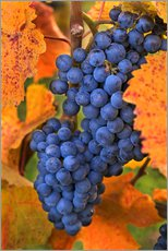 Galleritryck  Grapes in the autumn leaves - Janis Miglavs