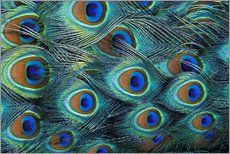 Galleritryck  Iridescent feathers of a peacock - Adam Jones