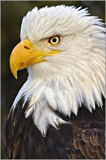 Galleritryck  Head of a bald eagle - Adam Jones