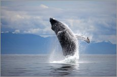 Galleritryck  Humpback whale in the jump - Paul Souders