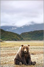 Galleritryck  Grizzly Bear is resting in front of Kinak Bay - Paul Souders