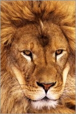 Galleritryck  Portrait of an African lion - Dave Welling