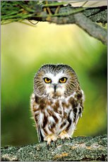 Galleritryck  Northern saw-whet owl - Dave Welling