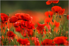 Galleritryck  Red Poppy Flowers 14 - Nailia Schwarz