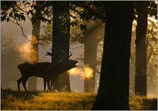 Galleritryck  Roaring red deer in the forest - Alex Saberi