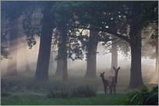 Galleritryck  Two red deer in a clearing - Alex Saberi
