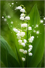 Galleritryck  Lily of the valley - Steffen Gierok