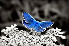 Galleritryck  Blue butterfly on black colorkey II - Julia Delgado