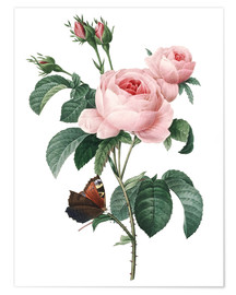 Premiumposter  Rose of a Hundred Petals - Pierre Joseph Redouté