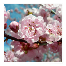 Premiumposter Cherry Blossoms