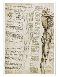 Poster  The muscles - Leonardo da Vinci