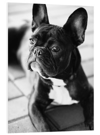 PVC-tavla  French Bulldog - Falko Follert