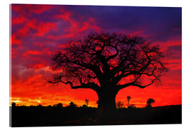 Akrylglastavla  Baobab in the glowing sunset - Adam Jones