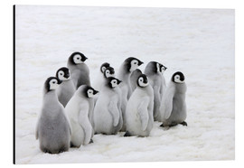 Aluminiumtavla  Emperor penguin chick on the ice - Keren Su