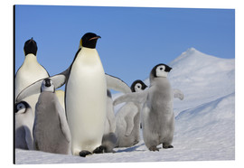 Aluminiumtavla  Emperor penguins with chicks - Keren Su