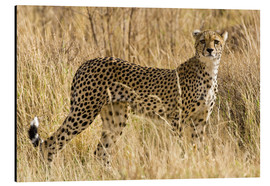 Aluminiumtavla  Cheetah in the dry grass - Ralph H. Bendjebar
