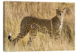 Canvastavla  Cheetah in the dry grass - Ralph H. Bendjebar